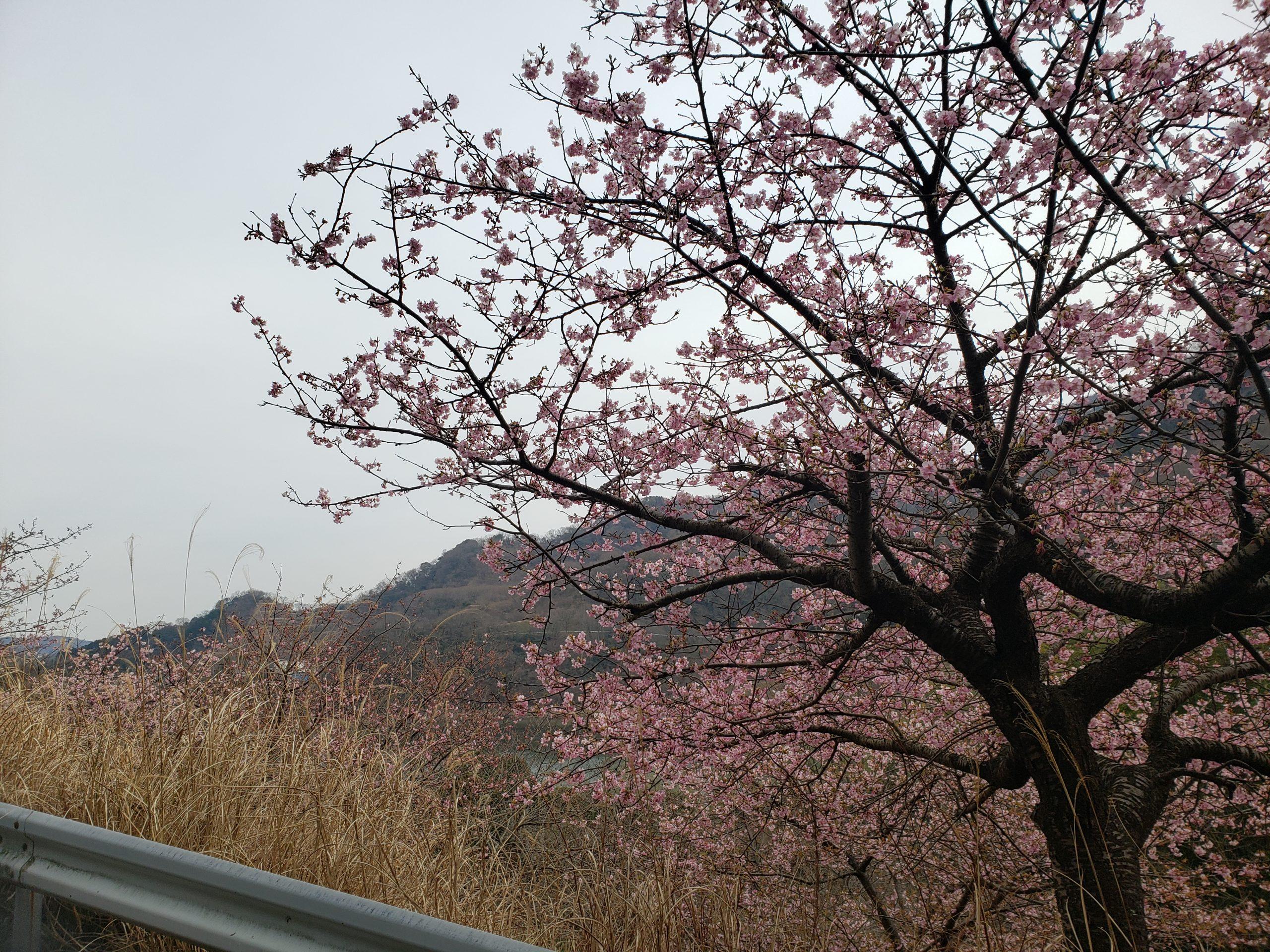 早咲き桜、春はもう近い!?