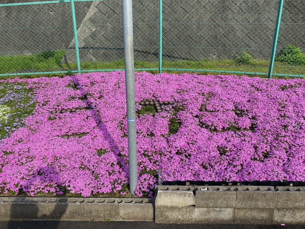 うさぎ薬局岡店 芝桜がまっさかり