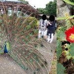 サボテンの花と孔雀